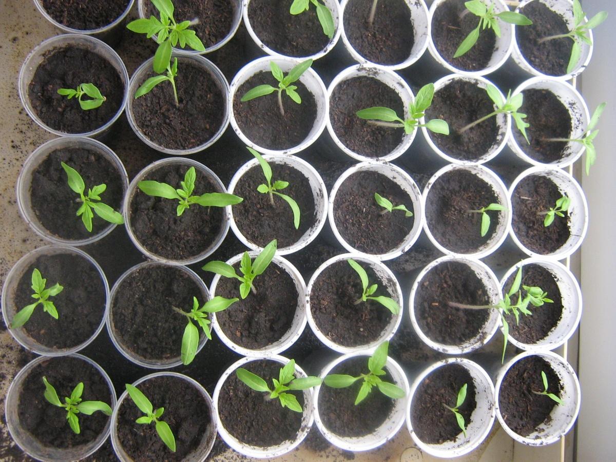 как вырастить рассаду помидор картинки семейного фотографа для