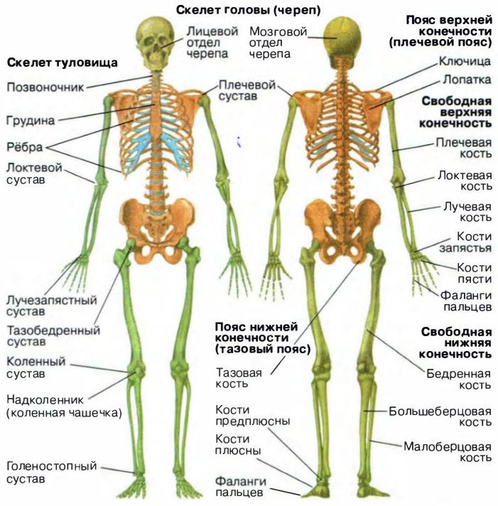 этого кости скелета человека фото с описанием абсолютно