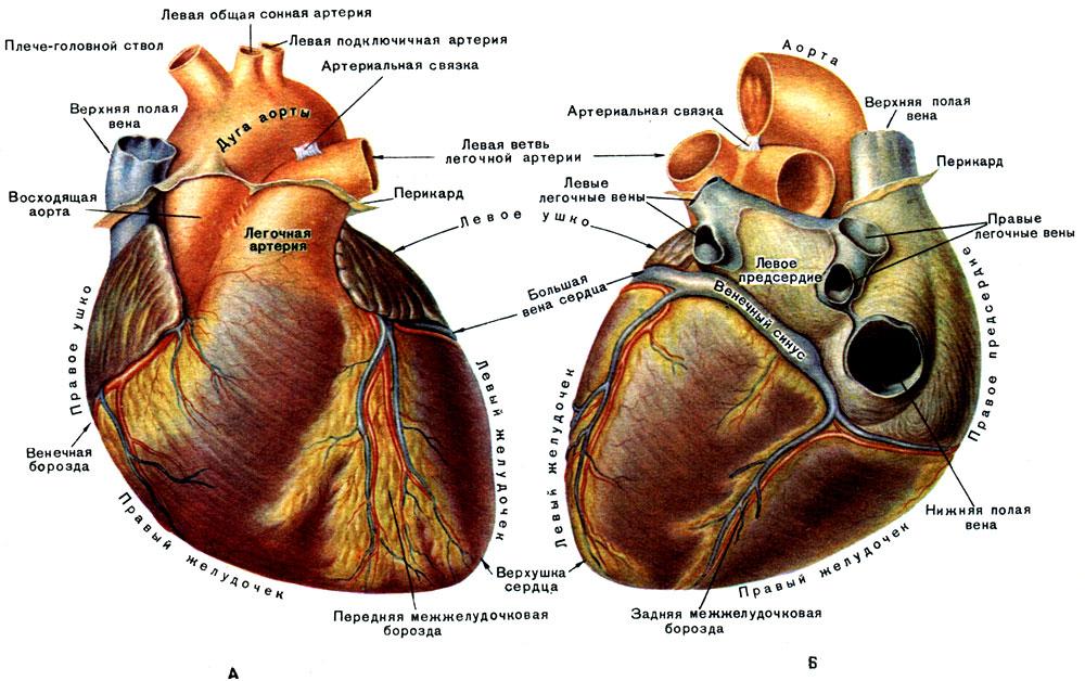 Картинки анимация, сердце человека картинки с надписями