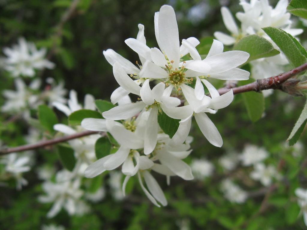 Цветы ирги купить в днепропетровске