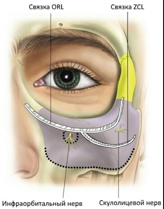 К скелету лица нижнего века, круговые мышцы крепятся двумя протяжными связками - это ORL и ZCL.