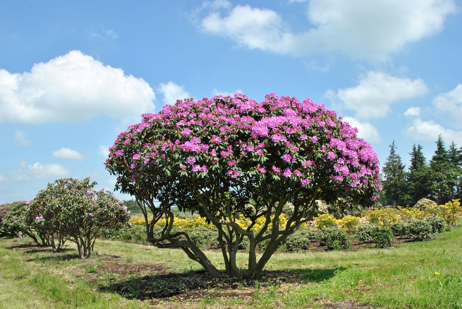 rhododendron_english-4.jpg