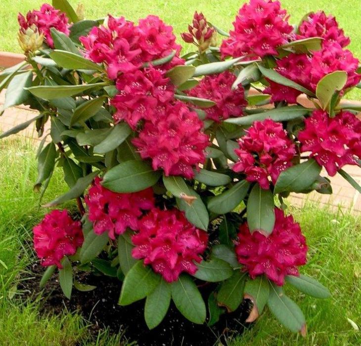 rododendron-gibridny-1.jpg