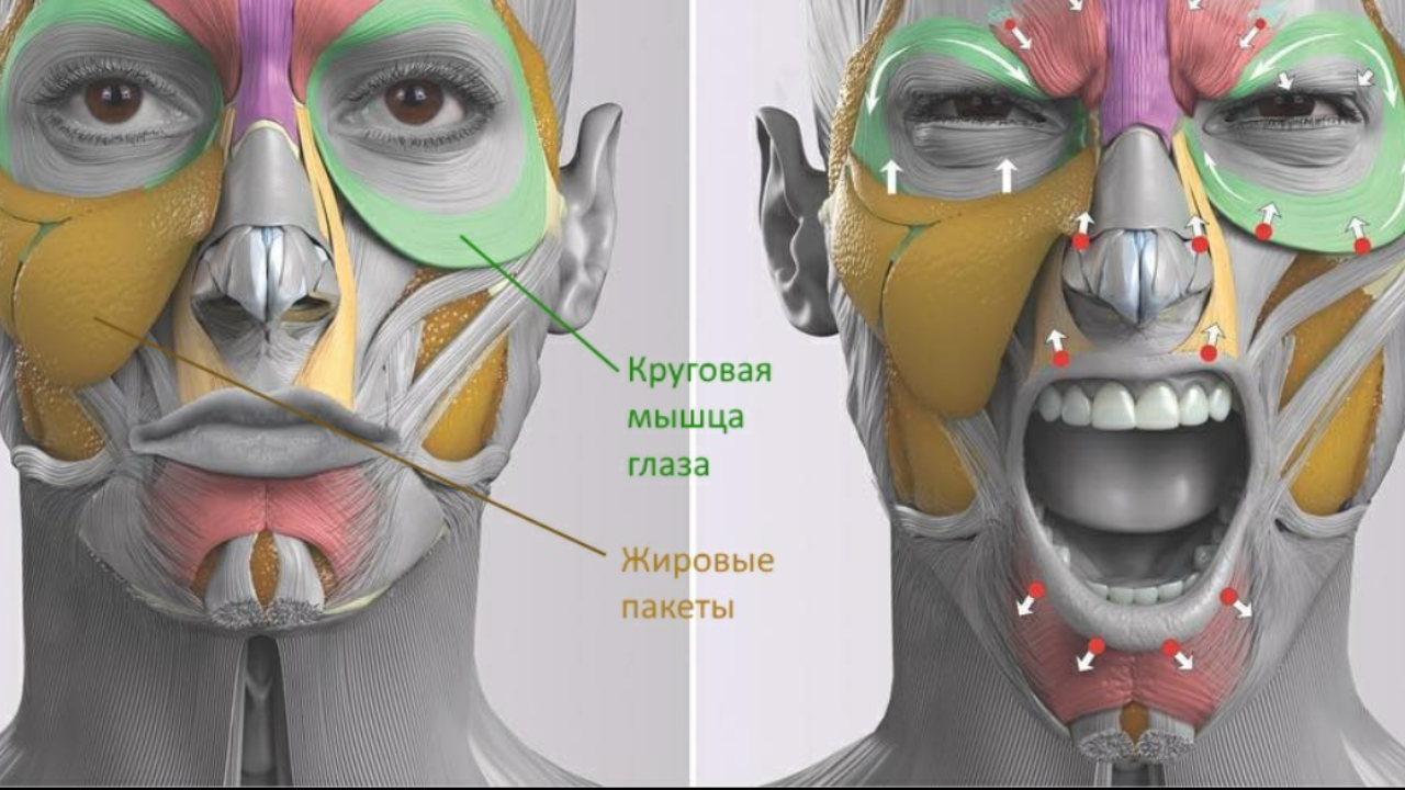 Так как круговые мышцы плотно связаны с кожей, то у людей с очень тонкой кожей часто видно темные круги под глазами. Таким образом просвечиваются круговые мышцы. Крепление круговых мышц происходит не по всей длине. С помощью связок, мышцы крепятся в нескольких местах.