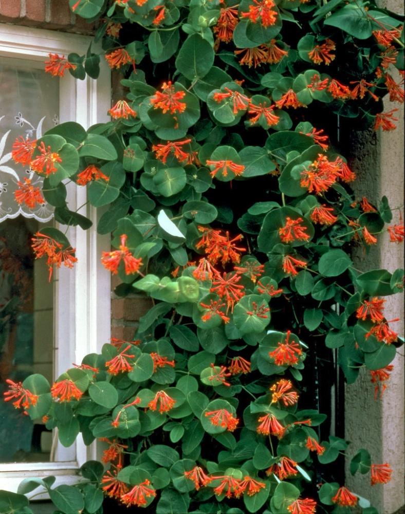 Цветки жимолости Брауна не только красивы, но также издают приятный аромат. На фото видно, как при помощи вьющегося декоративного куста можно украсить любое окно.