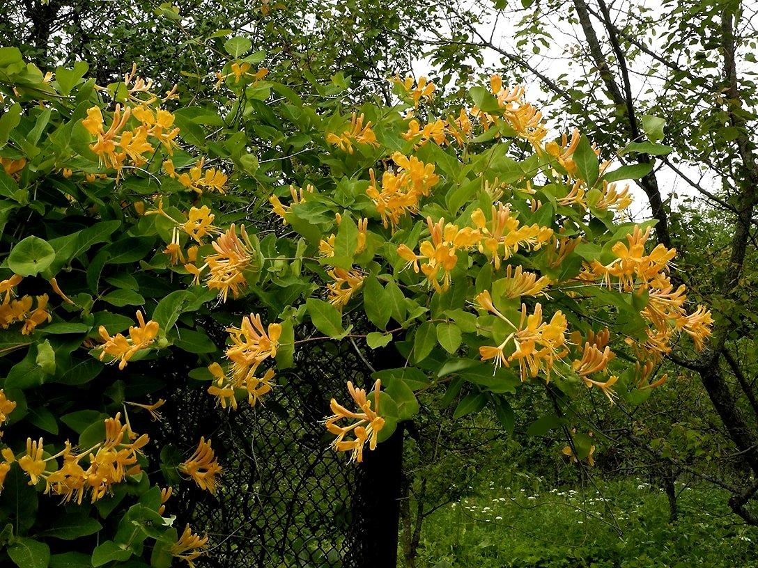 Так выглядит верхушка цветущей жимолости Тельмана.
