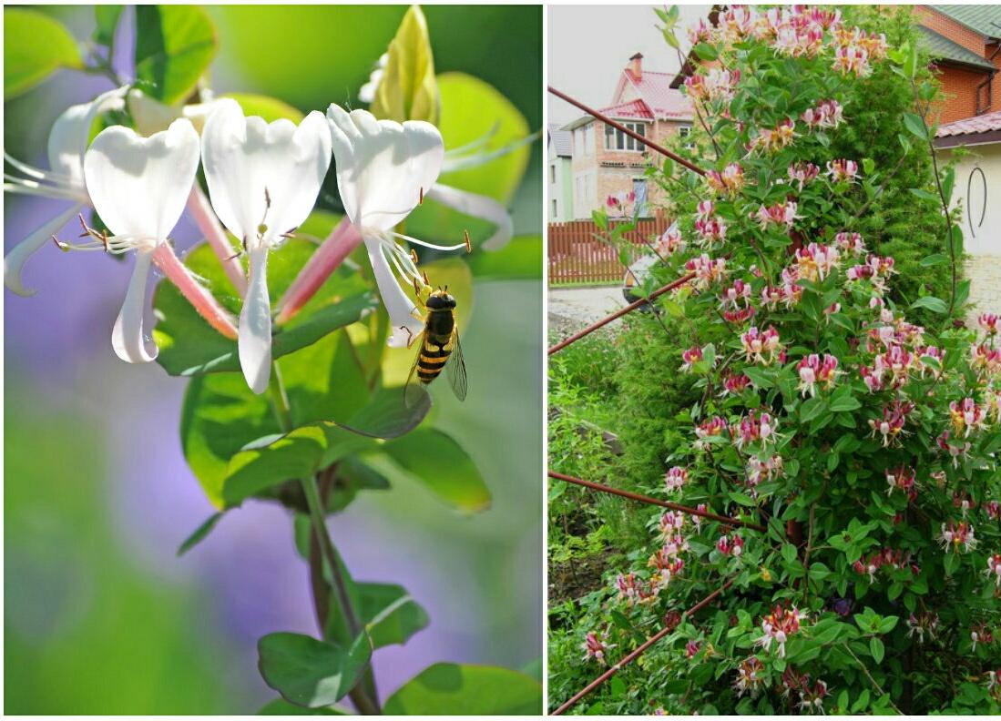 Сладкие ароматы декоративных кустов привлекают пчел.