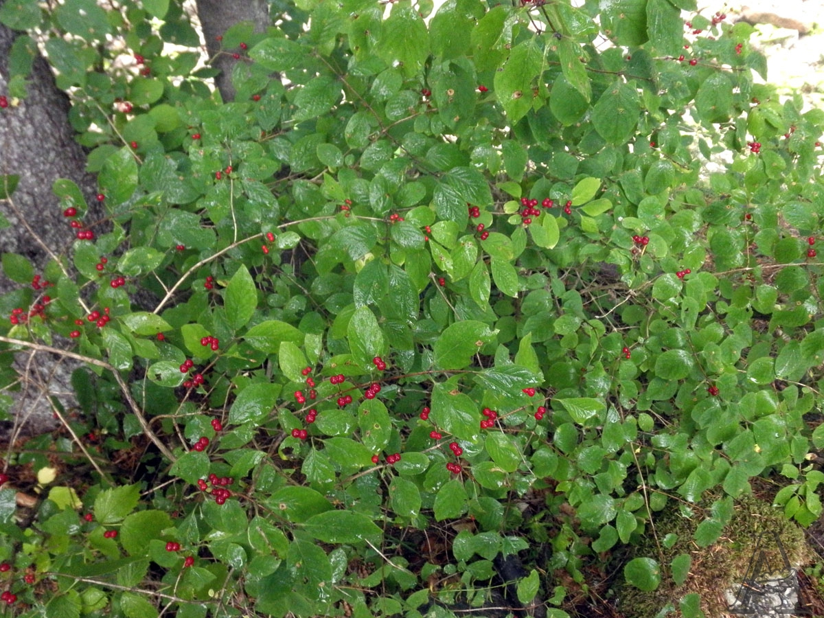 lonicera_xylosteum