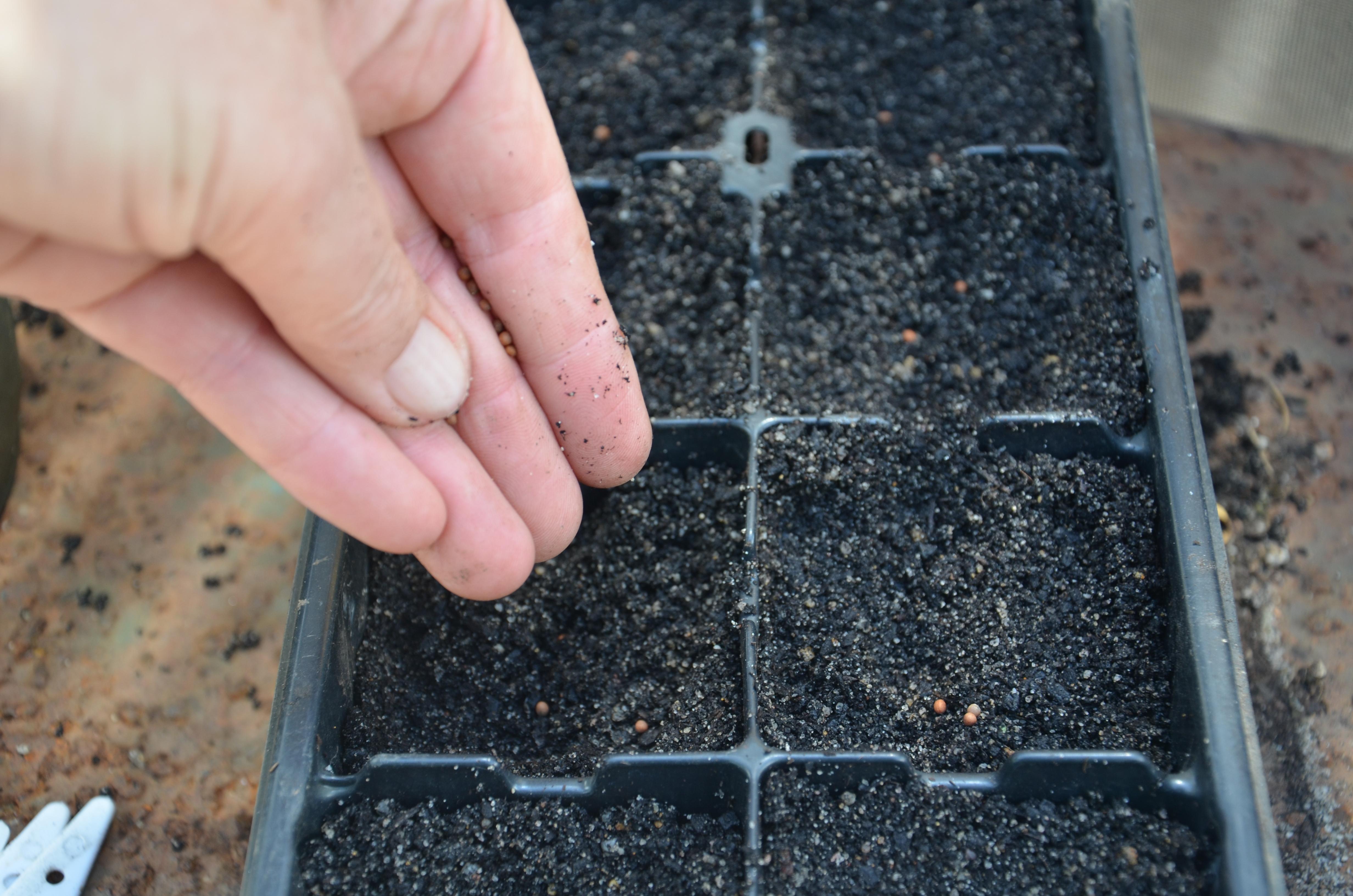 Изображение - Бизнес на выращивании капусты брокколи sowing-broccoli-seed-6