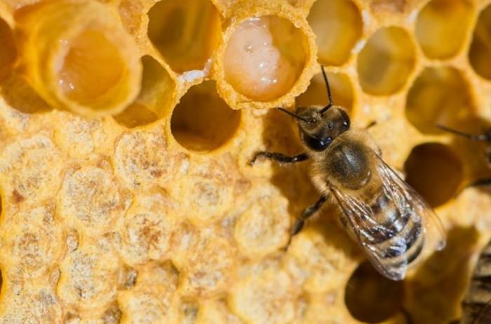 Пчелиное маточное молочко в гранулах свойства