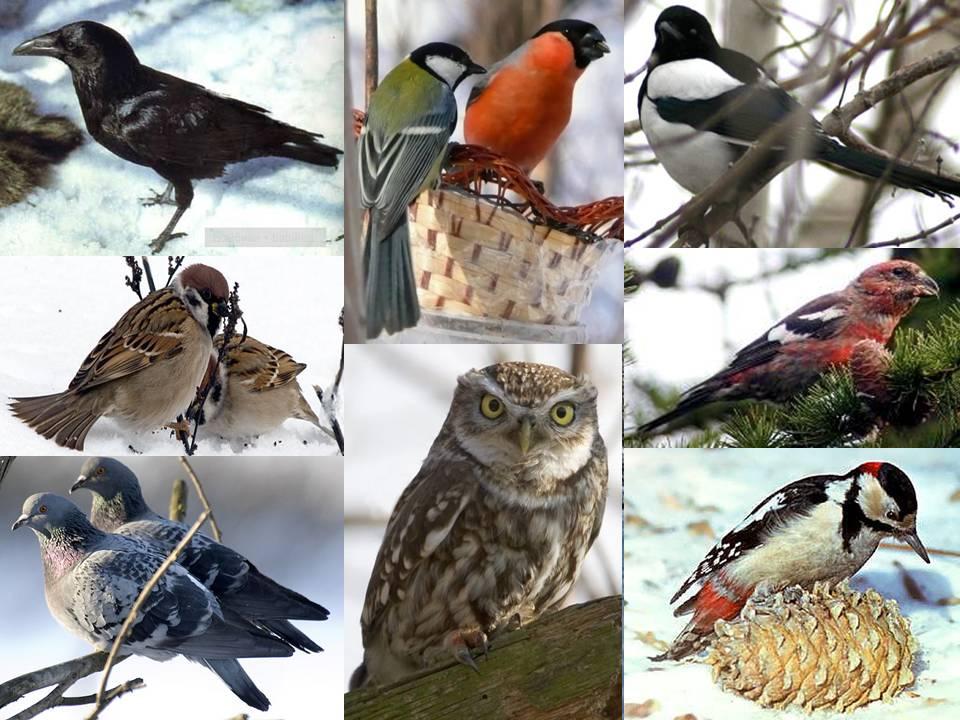 Зимующее птицы картинки