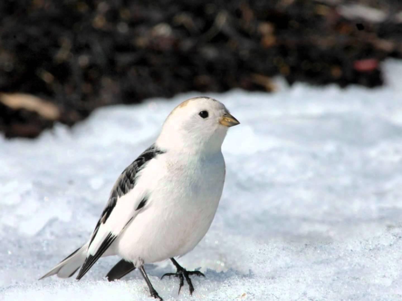 пуночка птица фото