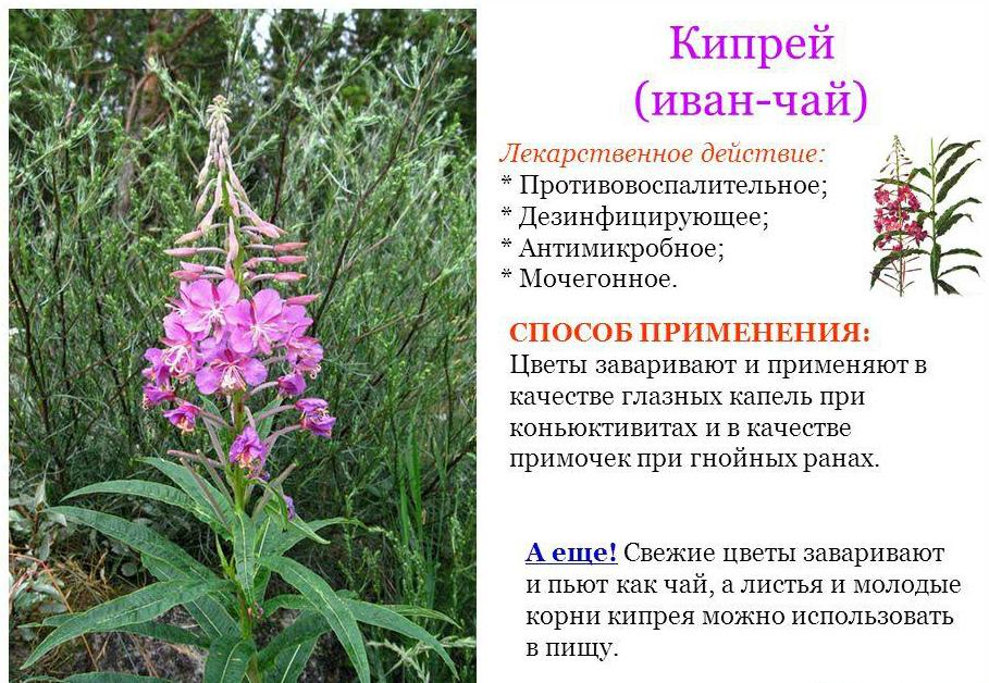 настоящее фото лекарственных растений с названиями и описанием при