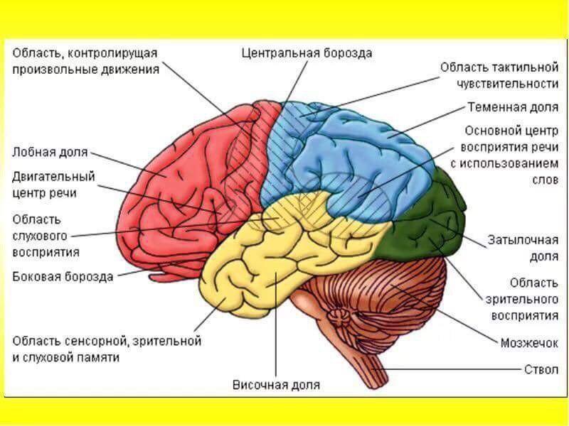 мозг центры картинки этой информацией