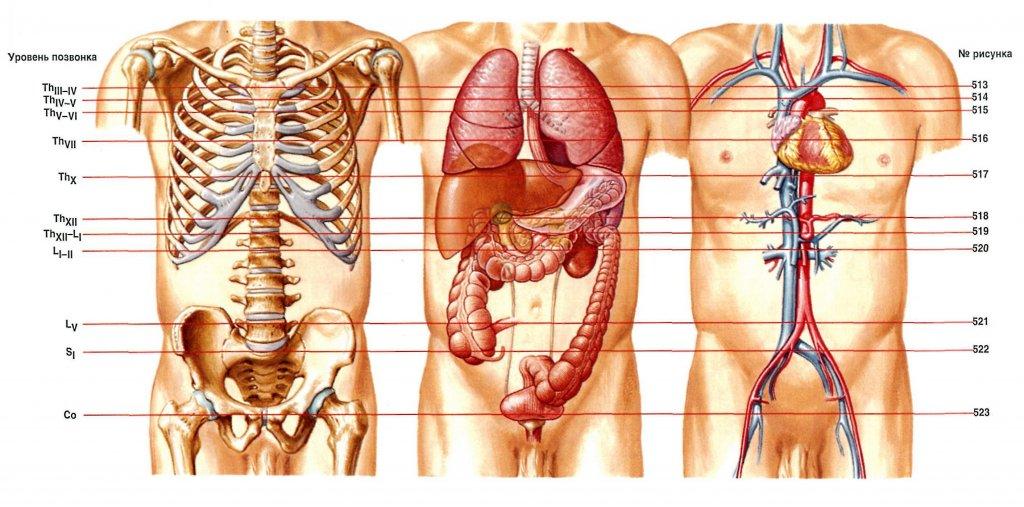 Открытки, строение человека внутренние органы фото с надписями спереди