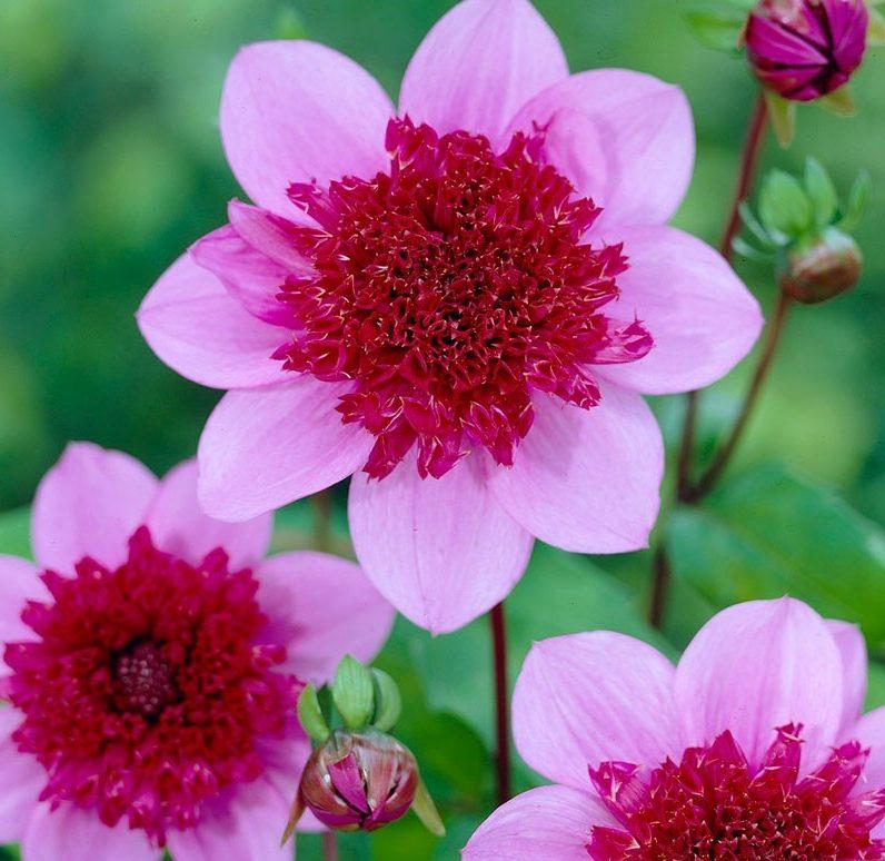 anemone-dahlia-blue-bayou-close-up