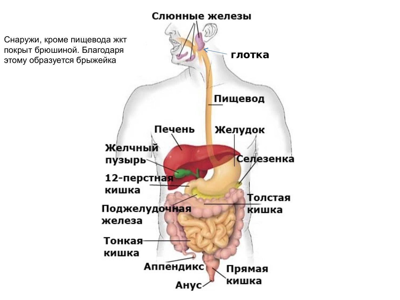 Пищеварительной системы человека картинки