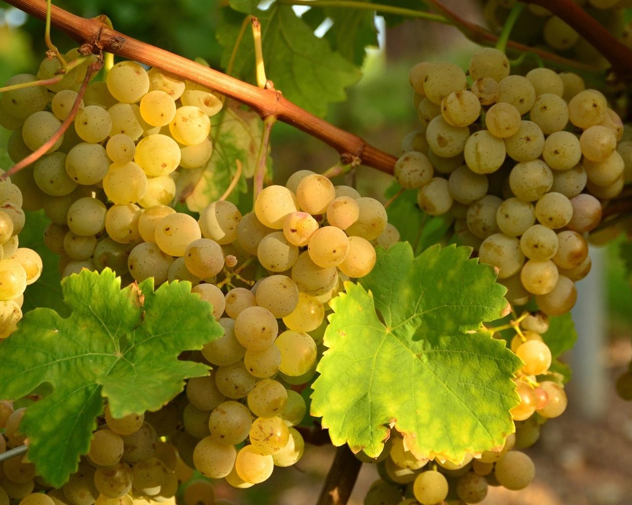 vinogradik