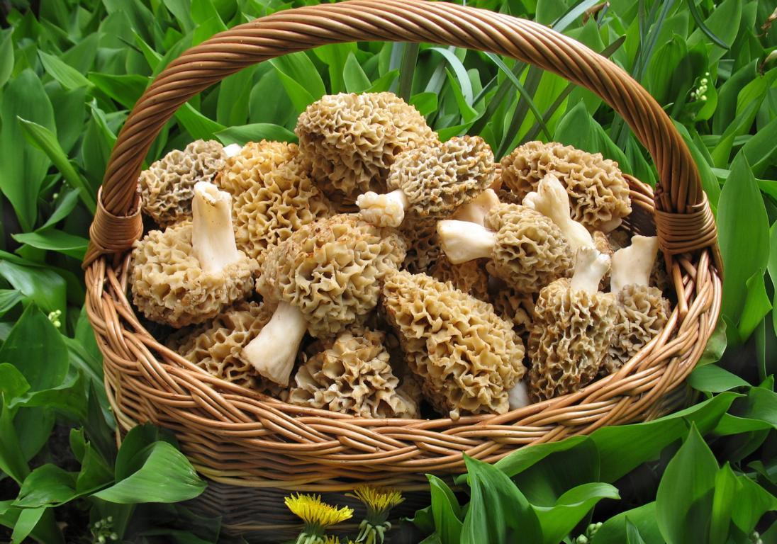 как выглядит гриб сморчок фото