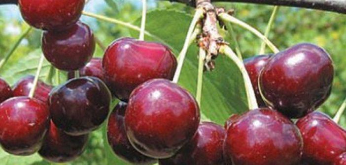 Картинки по запросу Большой выбор плодородных саженцев вишни